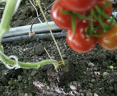 jord til tomatplanter